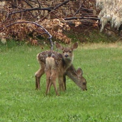 Fawns born on the property each year.
